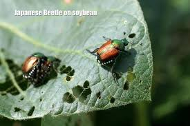 japanese beetles life cycle pest of the month japanese beetle community environment nebraska