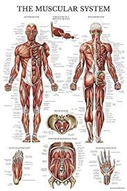 Laminated Anatomical Charts Muscular System Anatomical Poster Laminated Muscle Anatomy Chart Double Sided 18 X 27