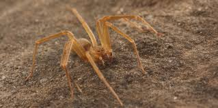 Arizona Spiders Identification Chart How To Tell If A Spider Is Not A Brown Recluse Spiderbytes
