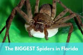 6 Biggest Spiders In Florida Owlcation