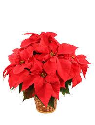 Poinsettia Designs Vibrant Red Poinsettia