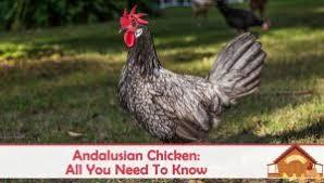 Ameraucana Chicken Color Chart Ameraucana Chicken Care Guide Color Varieties And More