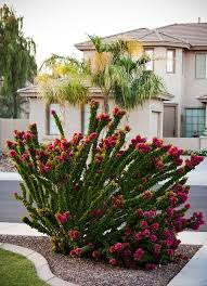Torch Glow is not your normal bougainvillea. This unique shrubby grower  blooms atop upright branches