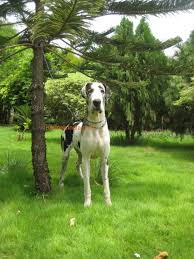 harlequin female greatdane available for