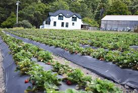 seascape and albion strawberries as well as other produce is grown at green oaks creek farm