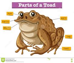 Parts Of A Frog Diagram Showing Parts Of Toad Stock Vector Illustration Of