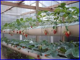 """Résultat de recherche d'images pour """"pousser dans l'eau des fraise"""""""