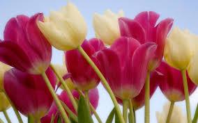 tulip pictures wallpaper on wallpapersafari