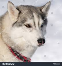 Portrait Cute Dog Husky Breed Before ...