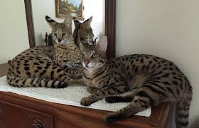 savannah cat chart 31 paradigmatic cat height and weight chart