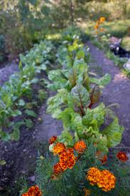 Kitchen Garden Companion Growing A Companion Vegetable Garden