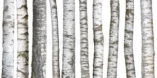 Download Birch tree trunks on white stock photo. Image of texture - 87347822