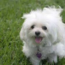 cute white puppies wallpaper.  White Cute White Puppies Wallpaper On