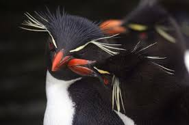 penguins nathan myhrvold official site rockhoppers are even more comical in appearance they have a punk haircut bright yellow highlights they are utterly unafraid of humans and will come