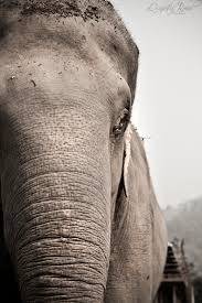 essay on elephants essay of elephant essay on elephant dies ip  photo essay elephant nature park quixotic road the park revolves around a main platform where volunteers