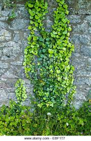 24 Best Vines For Containers  Climbing Plants For Pots  Balcony Climbing Plant