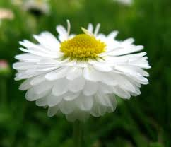 Article - A New Look at Daisy (Bellis Perennis) - Positive Health Online