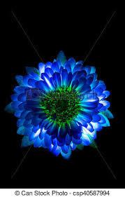 Surreal Dark Blue Flower Dahlia Macro Isolated On Black