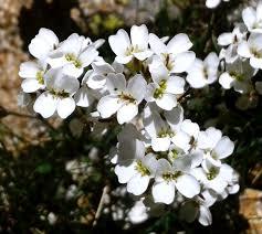Murbeckiella boryi – Wikipédia, a enciclopédia livre
