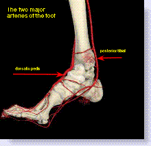 Image result for blood flow to the ankles.