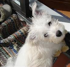 white terrier mix puppies. Modren Mix Topdown View Of A White Wauzer Puppy That Is Sitting On Bunched Up Rug Intended White Terrier Mix Puppies G