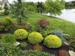 Small Picture Round shrubs in the center are Golden Mop pruned to a round shape