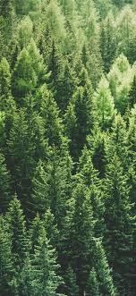 Green Pine Trees Wallpaper