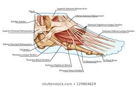 Diagram Of The Foot Tendons And Muscles Get Rid Of Wiring