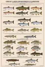 Freshwater Fish Identification Chart Great Lakes Sportsmens Game Fish Poster Freshwater Fish