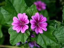 Risultati immagini per piante per o stomaco