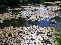 water lily pong monet garden giverny france