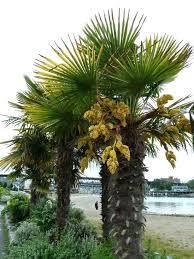 patio palm tree bar furniture windmill palm trees how to plant a windmill tree patio palm patio palm tree