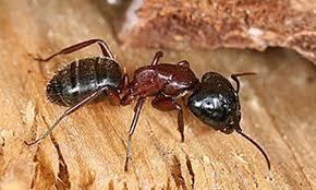 carpenter ant pic. Plain Carpenter Carpenter Ant And Pic T