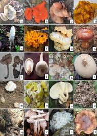 Some Of The Wild Edible Mushrooms Of Nagaland A