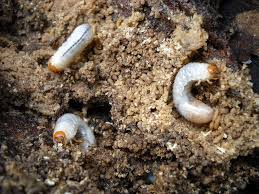Controlling Grubs In Texas Lawns Backbone Valley Nursery