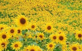 hd wallpaper background image id 23630 1600x1200 earth sunflower