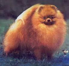 18 Pomeranian Sizes Canton Pomeranians