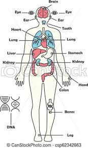 Male Human Anatomy Body Internal Organs Vector Diagram