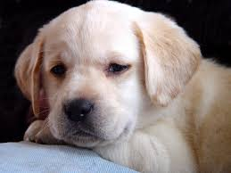 yellow lab puppy 6