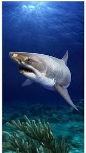 tiger shark iphone wallpaper. Fine Wallpaper Deep Blue For Tiger Shark Iphone Wallpaper