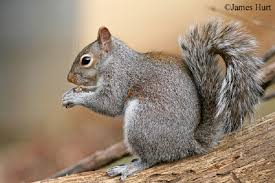 Squirrel Species Chart Eastern Gray Squirrel State Of Tennessee Wildlife