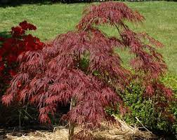 crimson queen japanese maple care and