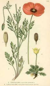 Papaver dubium Long-Head Poppy, Blindeyes PFAF Plant Database