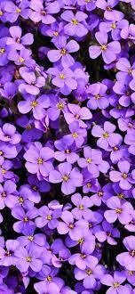 Aubrieta Wallpaper 4K, Violet flowers ...