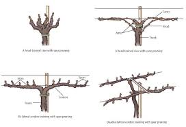 Important Structures Features Of Grapevines Lodi Growers