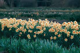How To Plant Spring Bulbs So They Appear Natural
