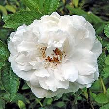 rosa rugosa sir thomas lipton