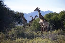 safari in cape town rooiberg safaris