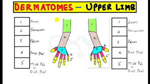 Trick To Remember Permanently Dermatomes Of Upper Limb
