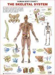 Human Body Charts The Skeletal System